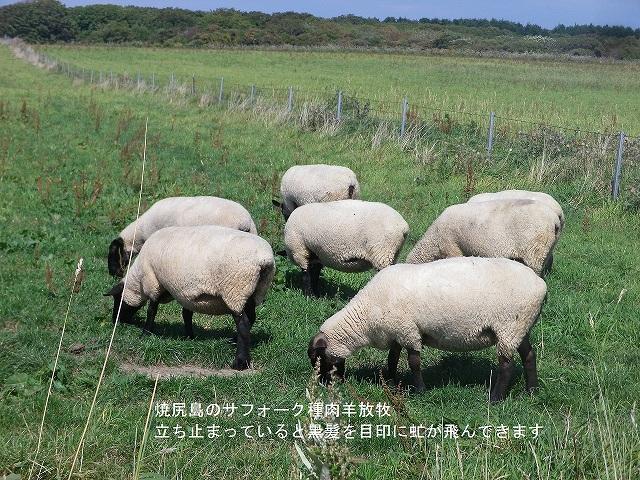 写真7-焼尻島サフォーク種