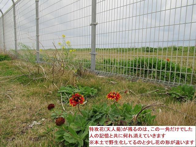 特攻花(天人菊)