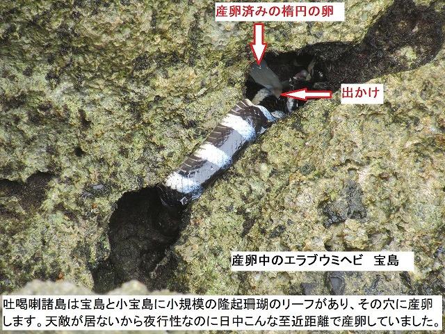 エラブウミヘビの産卵