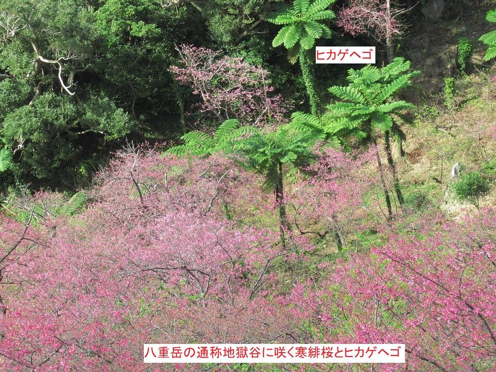 八重岳の通称地獄谷に咲く寒緋桜とヒカゲヘゴ